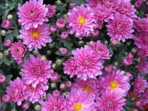 Grabbepflanzung im Herbst mit Chrysanthemen