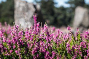 Heidepflanzen als Grabbepflanzung