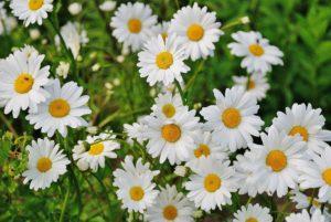 Grabbepflanzung mit Margeriten