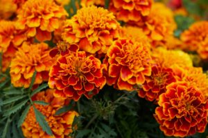 Grabbepflanzung mit Tagetes
