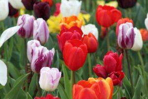 Grabbepflanzung mit Tulpen