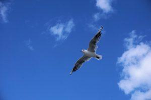 Seebestattung vor Horumersiel: Möwe vor blauem Himmel