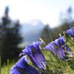 Almwiesenbestattung: Blumenwiese mit Enzian