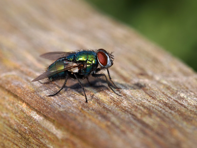 Verwesung: Besiedelung durch Fliegen