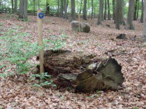 RuheForst Marklohe, Baumstumpf als RuheBiotop