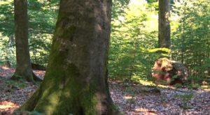 RuheForst Wilgartswiesen, Waldbild
