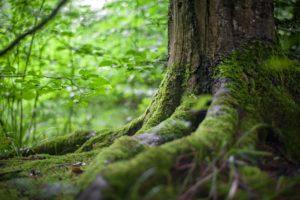 Naturbestattung im Wald: Grabstätte im Wurzelwerk eines Baumes
