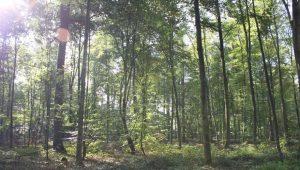Waldbild im FriedWald Goch-Tannenbusch