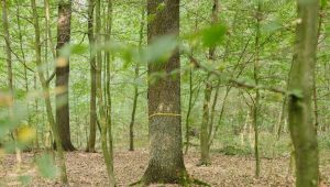 Gemeinschaftsbaum im FriedWald Dessau-Wörlitz
