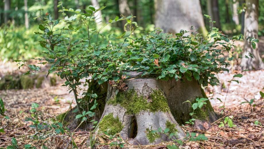 Baumstumpf | Quelle: FriedWald Lich